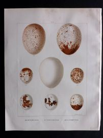 Frohawk 1898 Bird Egg Print. Golden Eagle, White Tailed Eagle, Sparrow-Hawk